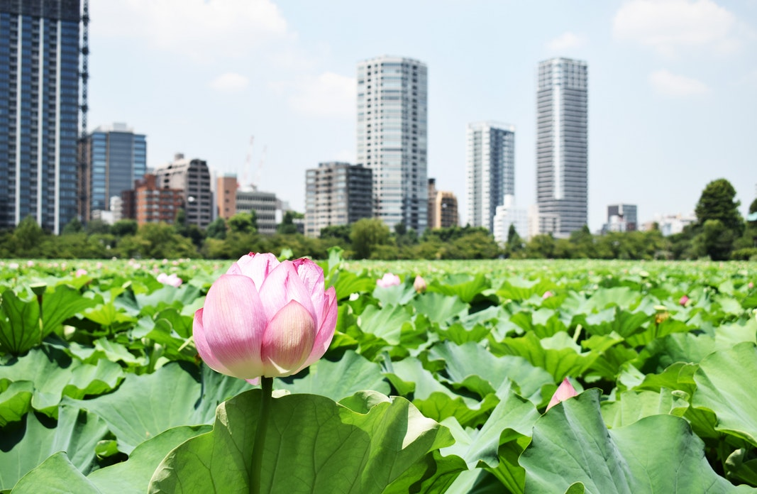 A pink and white lotus floats in the foreground with skyscrapers in distance