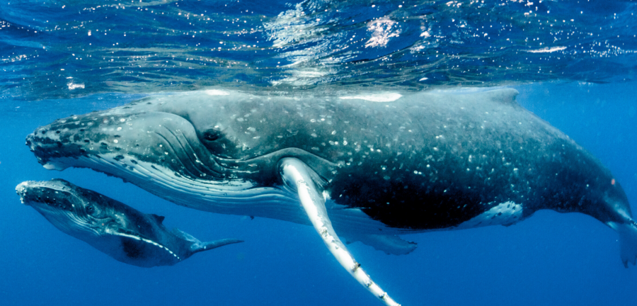 Mother and baby whale in the ocean